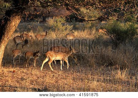 Travel India: Spotted Deer Male And Babies In Ranthambore National Park