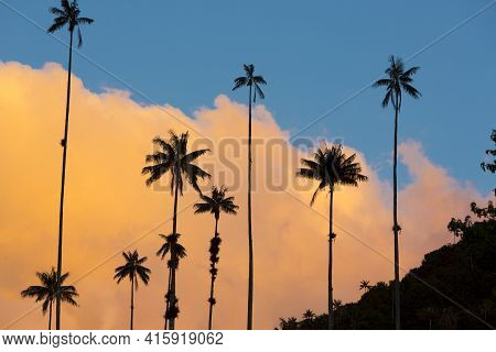 Sunset On The Cocora Valley With Giant Wax Palms  Near Salento, Colombia