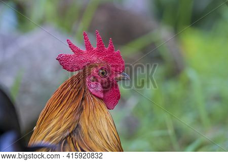 Red Head Of A Cock Or Rooster On Farm Yard. Farming Concept. Portrait Of A Brown Cock In The Garden
