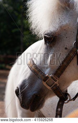 Portrait Of A White Pony In Profile, In A Bridle Outside The House In The Summer On The Farm Against