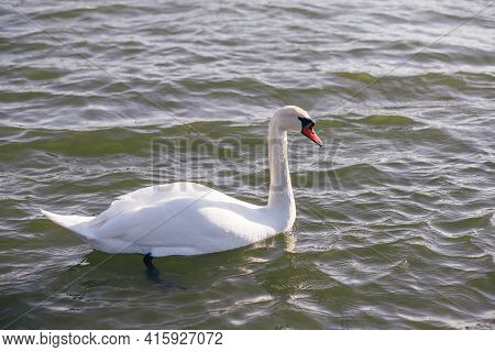 Very Beautiful Graceful Graceful White Swans With Pink Beaks Swim On A Clear Lake In Russia Close-up