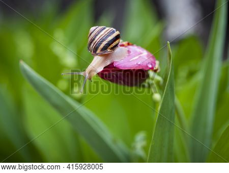 A Magical Snail Creeps On The Red Tulip. A Small Snail Is On The Flower With Beautiful Green Backgro