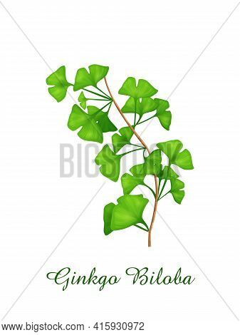 Ginkgo Biloba Plant, Green Grasses Herbs And Plants Collection, Realistic Vector Illustration