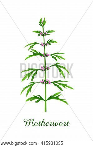 Motherwort Plant, Green Grasses Herbs And Plants Collection, Realistic Vector Illustration