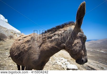 Close-up From A Mule In The Dry Landscape Of Folegandros