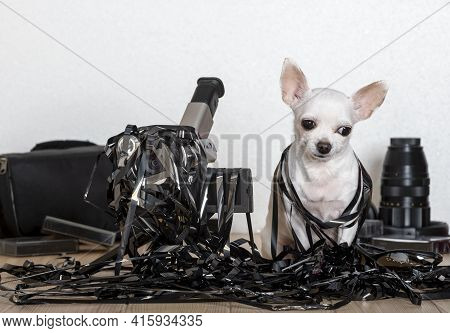 A White Chihuahua Dog Sits Entangled In A Black Thin Film And Looks Into The Camera And Next To It T