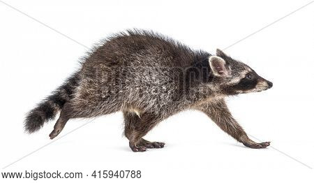 Side view of a young raccoon walking away, isolated on white