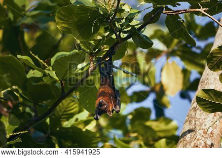 Portrait Of Indian Fruit Bat (species Of Flying Fox) On Tree. Theme Of Animals In Wild In Sri Lanka.