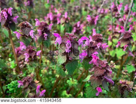 Spring Meadow Full Of Blooming Purple Dead Nettle Flowers, Also Know As Lamium Purpureum, Purple Arc