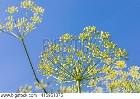 Fennel Inflorescences Against A Blue Sky, Fennel Blooms, Closeup
