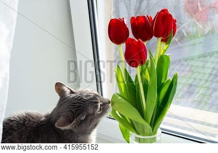 A Gray Cat Sits On The Windowsill And Sniffs A Leaf From A Bouquet Of Red Tulips.