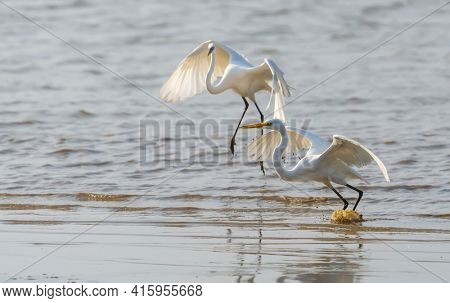 Great egret on the lake