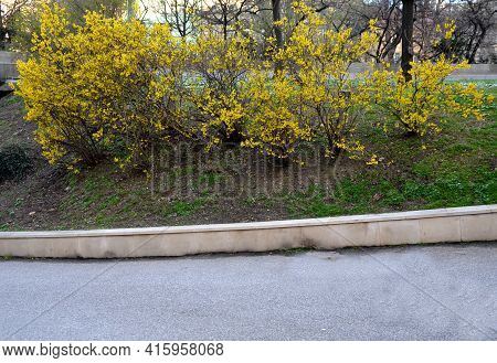 Yellow Flowering Shrubs Called Golden Rain Shaped By Gardeners Into A Hedge Have Just Been Covered I