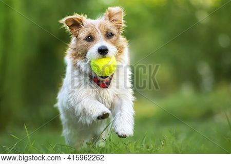 Fluffy Playful Happy Cute Dog Puppy Running, Playing With A Ball In The Grass. Spring, Summer Walkin