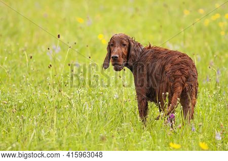 Happy Smiling Cute Irish Setter Pet Dog Puppy Listening Ears And Panting. Spring, Summer Walking Con