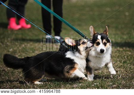 Corgi Meeting In The Clearing. Two Pembroke Welsh Corgi Puppies On A Walk In The Park. Tricolor Litt
