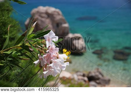 Oleander Flowers In Croatia. Dalmatia Adriatic Coast. Croatia Nature In Mimice.