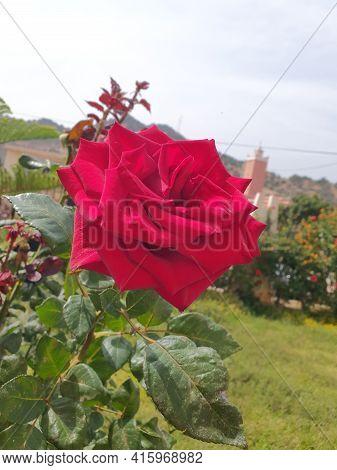 Plante Des Rose  Fleures Rouge Pic Des Fleures Roses Rouge Nature Amour  Love