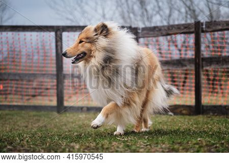 Long-haired Red Collie Scottish Shepherd. A Beautiful Charming Fluffy Breed Of Dog With Intelligent