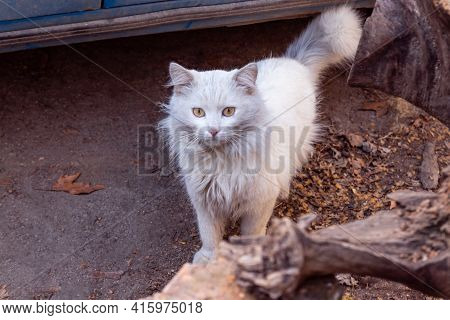 Neglected Stray Feral Dirty White Cat Stands On The Street