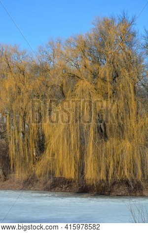 A Large Bare Weeping Willow Tree With Long Yellow Branches Over The Ice, Water Surface On The River