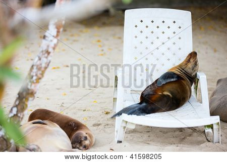 Sea lion relaxing on a beach lounger poster