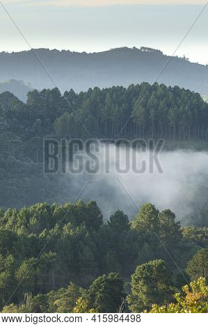 Pine Trees In A Foggy Altitude Rainforest At Brazil.