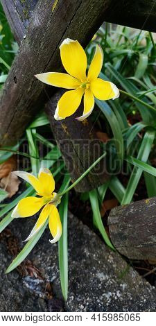 Pair Of Tulipa Tarda Flowers, Yellow Petals, White Tips, Growing Through Country Fence Made Of Criss