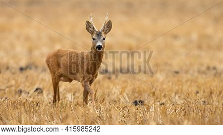 Roe Deer Buck Approaching On Stubble Field In Summer With Copy Space