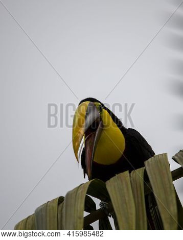 Close-up Of A Chestnut-mandibled Toucan Species - Swainsons Toucan Resting On A Tree In Its Habitat,