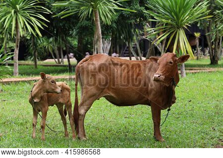 The Family Red Cow Is Stay In Graden