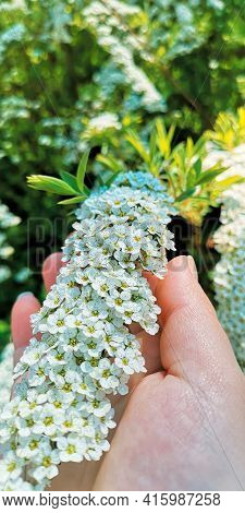 Close Up Spring Vibe Of Flowering Branch Arguta Spirea On Woman's Palm.selective Focus,blurry Backgr