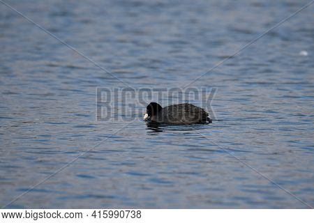 Close Up Shot Of A Black And White Coot Bird Floating On A Lake In Oss, Netherlands