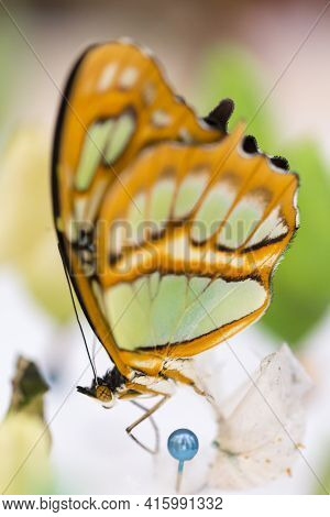 The Greta Oto (clear Wing Butterfly) Has Transparent Wings, Tropical Butterfly Found In Costa Rica (