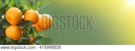 Mandarin Tree Banner.orchard Banner. Tangerine Fruits On The Branches On Green Blurred Background .o