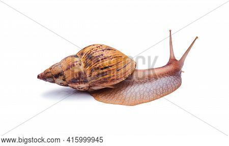 Crawling Live Snail Achatina Isolated On White Background