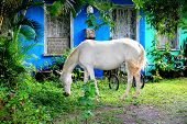 Magical horse eating grass in Trancoso Brazil against a blue house poster