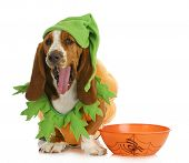 halloween dog - basset hound dressed up like a pumpkin sitting beside trick or treat bowl on white background poster