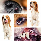 beagle, studio set, saved clipping path, white background poster