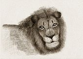 Sketch of a lion drawn by pencil poster