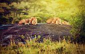 Lions lying on rocks on savanna at sunset. Safari in Serengeti, Tanzania, Africa poster