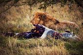 Big male lion and his prey on savanna. Safari in Serengeti, Tanzania, Africa poster