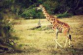 Giraffe on African savanna. Safari in Tanzania poster