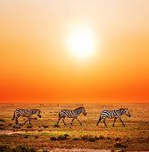 Zebras herd on savanna at sunset, Africa. Safari in Serengeti, Tanzania poster