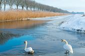 Two swans in a frozen canal in winter poster