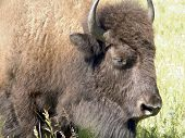 close-up of a bison's head, with grass in the background. poster
