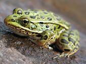 leopard frog on rock in river. poster