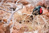 Male magnificent frigatebird at Galapagos Island of  North Seymour poster