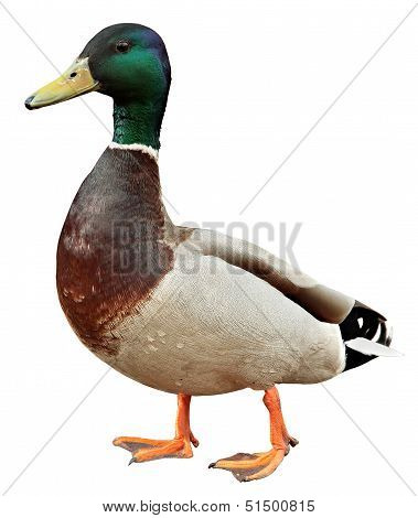 Mallard Duck With Clipping Path. Colourful Mallard Duck Isolated On White Background