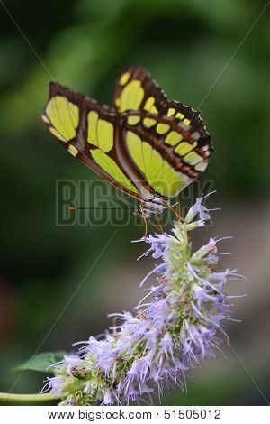 Butterfly - Philaethria dido
